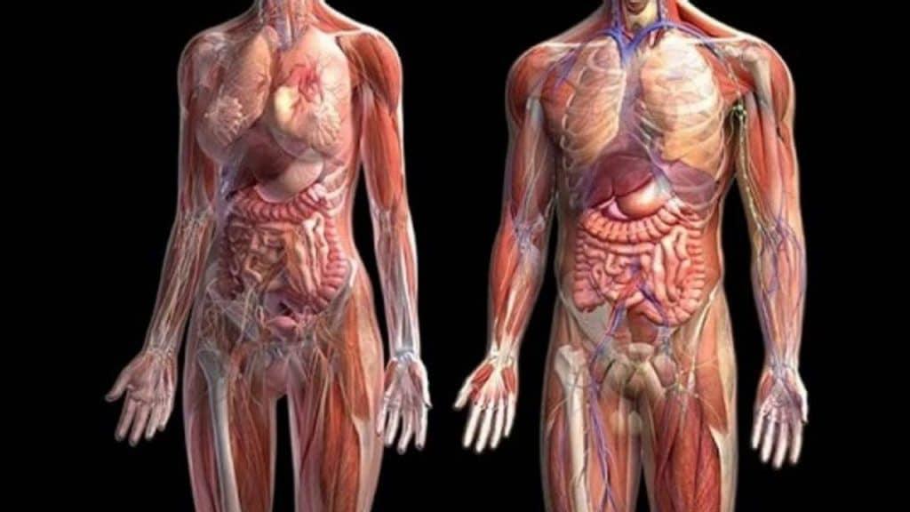 Anatomista 1